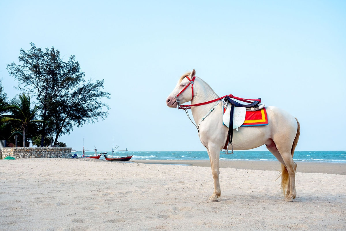 ม้าเยือนรอให้บริการแก่นักท่องเที่ยวที่ชายหาดชะอำ